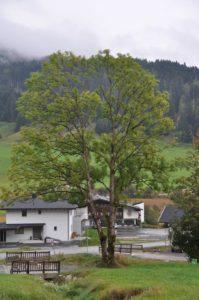 8 diesem Baum möcht ich zuhören (1)