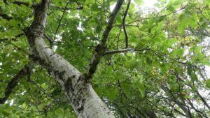 8 diesem Baum möchte ich zuhören