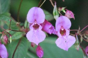 T8 Blüht im Spätsommer